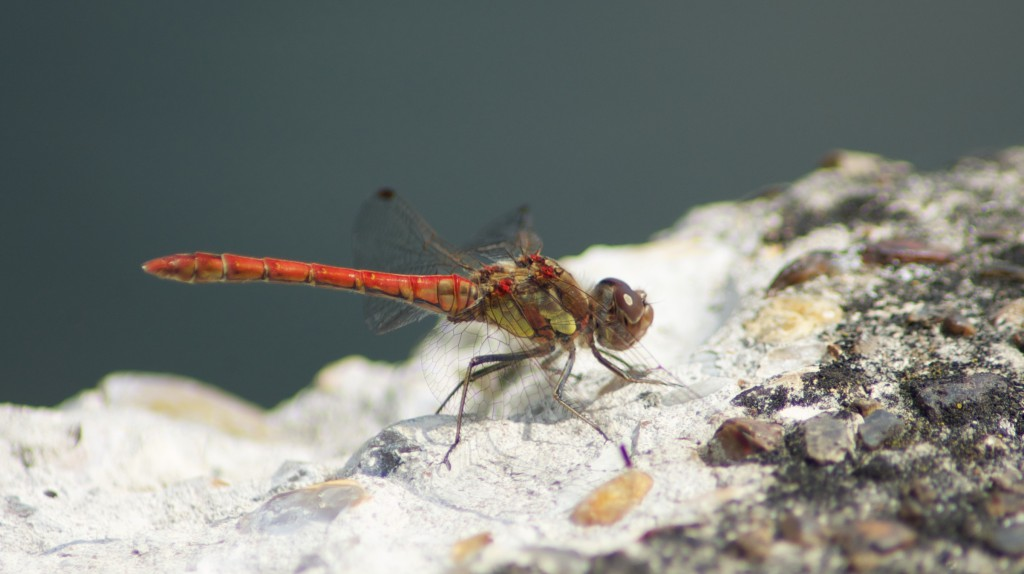 Male Sympetrum striolatum - Common darter dragonfly