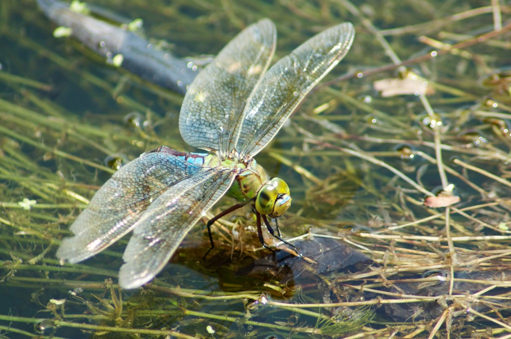 Female Anax imperator - emperor dragonfly